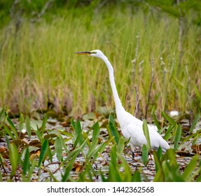 Great White Egret at Okefenokee swamp area in Georgia.