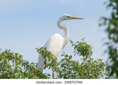 Great White Egret on Tree (Ardea Alba) Common Egret