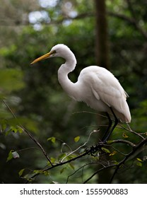 Great White Egret perched exposing its body, head, beak, eye, white plumage with a nice foliage background in its environment and surrounding.