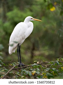 Great White Egret perched exposing its body, head, beak, eye, white plumage with a nice foliage bokeh background in its environment and surrounding.