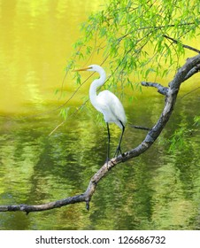 Great white egret perched on a limb at a lake.
