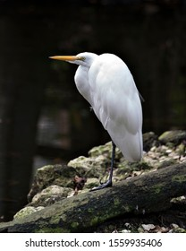 Great White Egret perched on a log by the waterexposing its body, head, beak, eye, white plumage with a nice black background in its environment and surrounding.