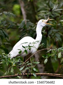 Great White Egret perched on a branch feeding with a fish in its beck and exposing its body, head, beak, eye, white plumage with a nice foliage bokeh background in its environment and surrounding.