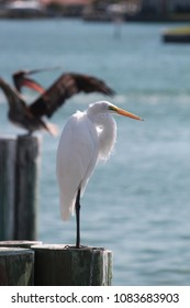 Great White Egret photobombed by a pelican