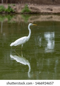 Great white egret is reflected in the water of a pond, Ardea alba, also known as the common egret, large egret, or great white heron
