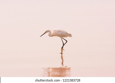 Great White Egret with reflection on the clean sand tropical beach. Great Egret (Ardea alba) stalking a fish in early morning. Travel concept. Pink pastel toned background in minimalist style.