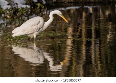 Great white egret with it's reflection in the water.