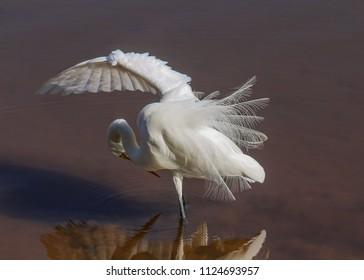 Great White Egret showing the Plumage in the Lake (Garça Branca Grande / Casmerodius albus or Ardea alba)