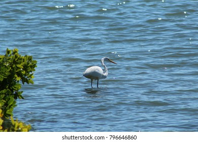 Great white egret in sparkling water