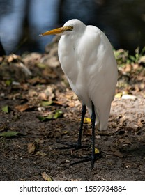 Great White Egret standing by the water exposing its body, head, beak, eye, legs, feet, white plumage with a nice foliage background in its environment and surrounding.