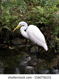 Great White Egret standing on a rock by the water exposing its body, head, beak, eye, long neck, black legs, white plumage with a nice foliage background in its environment and surrounding.