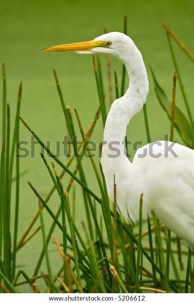 great white egret wades in marsh