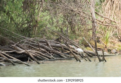 Great white egret wading along the banks of the Mary River through logs with grassy flora in Kakadu, Australia
