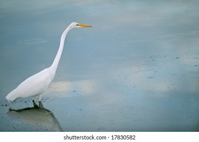 great white egret wading in calm florida marsh pond with copy space