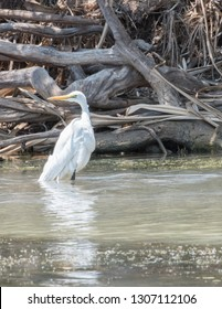 Great white egret wading in the Corroboree Billabong in the Northern Territory of Australia