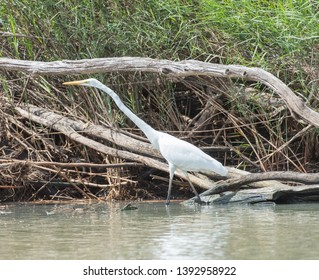Great white egret wading on the Mary River banks with wetland flora in Kakadu, Australia