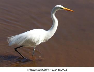 Great White Egret walking in the Lake (Garça Branca Grande / Casmerodius albus or Ardea alba)