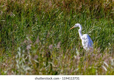 Great White Egret walking through marshland in Norfolk, UK