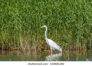 Great White Egret in Wetlands Grasses