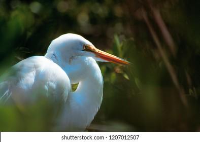 Great white heron - Ardea herodias occidentalis
