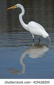 Great white heron - [Ardea herodias occidentalis]