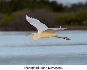 Great White Heron or Great Blue Heron (White Morph or Form) in Flight Over Pond