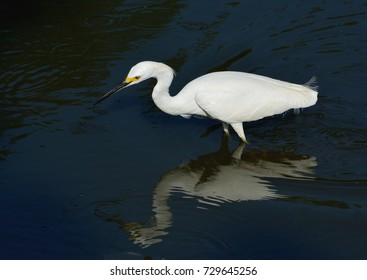 A Great White Heron, or Great Egret (Ardea alba), hunting for food in the Florida Everglades.water,