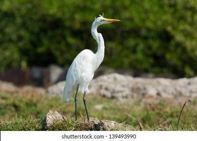 A Great White Heron on a Windy Day