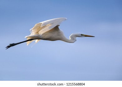 Great white heron photographed in flight. Blue background.