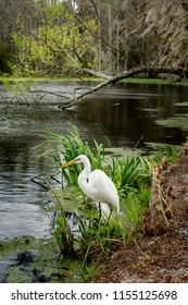 Great white heron at a picturesque pond at the Audobon Swamp in South Carolina