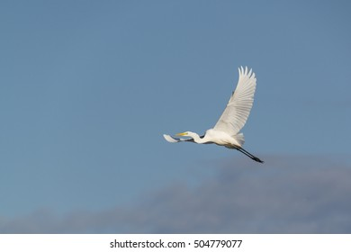 great white heron in the sky with wide spread wings