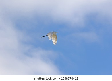 Great white heron wings down or great whit egret with the sun behind shining through its feathers Latin name ardea alba flying in Comacchio nature reserve salt marshes in the Po Delta in Italy