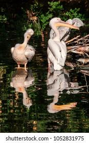 Great White (Pelecanus onocrotalus) and Dalmatian (Pelecanus crispus) Pelicans in zoo, Moscow, Russia
