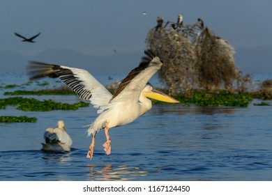 Great white pelican (also known as the eastern white pelican, rosy pelican or white pelican) (Pelecanus onocrotalus) flying. Lake Naivasha. Naivasha. Great Rift Valley. Kenya