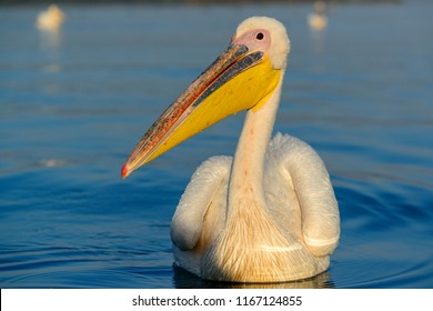 Great white pelican (also known as the eastern white pelican, rosy pelican or white pelican) (Pelecanus onocrotalus). Lake Naivasha. Naivasha. Great Rift Valley. Kenya