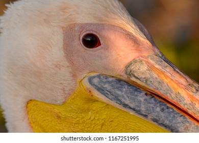 Great white pelican (also known as the eastern white pelican, rosy pelican or white pelican) (Pelecanus onocrotalus) portrait. Lake Naivasha. Naivasha. Great Rift Valley. Kenya
