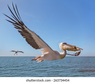 Great white Pelican catches fish thrown by tourists on the deck of the ship - Namibia, South Africa