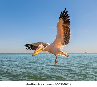 Great white Pelican catches fish thrown by peoples on the deck of the tourists ship - Namibia, South Africa.