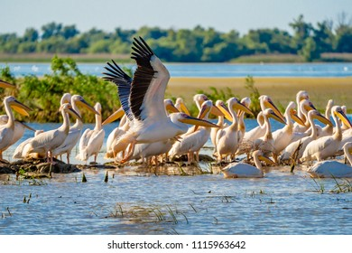 Great White Pelican colony sighted in the Danube Delta