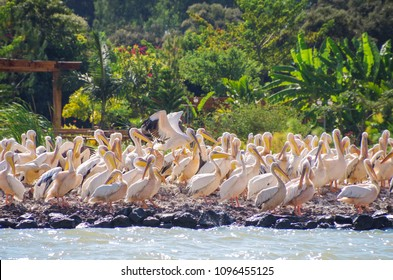 Great white pelican (eastern white pelican, rosy pelican or white pelican) on the coast of the lake Tana, the largest lake in Ethiopia. Amhara Region, the north-western Ethiopian Highlands, Bahir Dar.