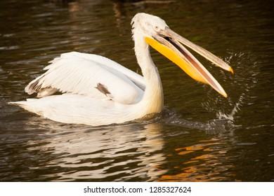 Great white pelican or eastern white pelican, rosy pelican, Pelecanus onocrotalus, catching fish in a lake.