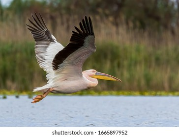 Great white pelican, or Eastern white pelican, or Rosy pelican, or White pelican (Pelecanus onocrotalus) in breeding plumage flying in its natural aquatic habitat; the Danube Delta in Romania.