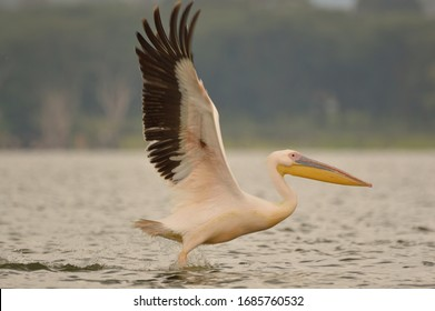 GREAT WHITE PELICAN FLIGHT AND IN A LAKE