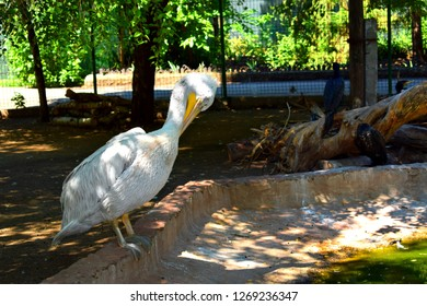 The great white pelican  also known as the eastern white , rosy pelican or white pelican is a bird in the pelican family.