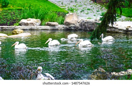 The great white pelican also known as the eastern white pelican, rosy pelican or white pelican, is a large water bird in the family Pelecanidae. A group of pelicans on water.
