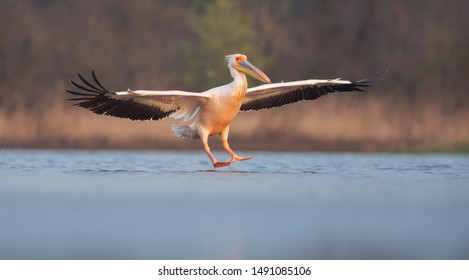 Great white pelican landing. Pelecanus onocrotalus. Photo was taken on Kinburn peninsula, Ukraine