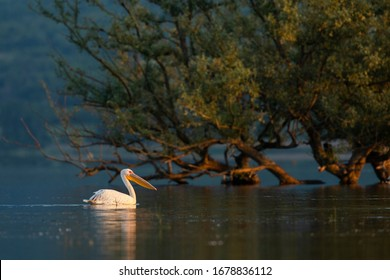 The Great White Pelican in its natural environment. Wild bird from Kerkini lake in Greece.