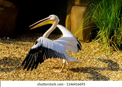 The great white pelican (Pelecanus onocrotalus) also known as the eastern white pelican, rosy pelican or white pelican