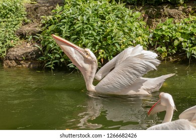 Great white pelican, Pelecanus onocrotalus, swimming in pond