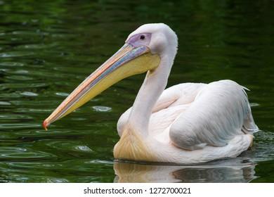 The great white pelican (Pelecanus onocrotalus)